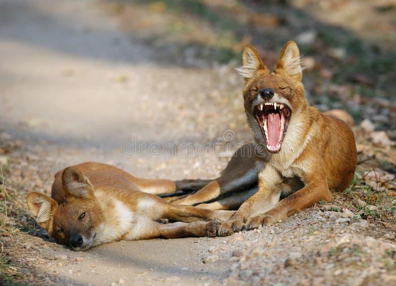 perros salvajes asiáticos fotos de archivo