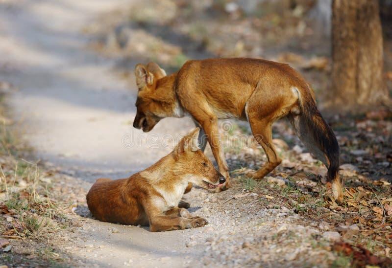 perros salvajes asiáticos imagen de archivo