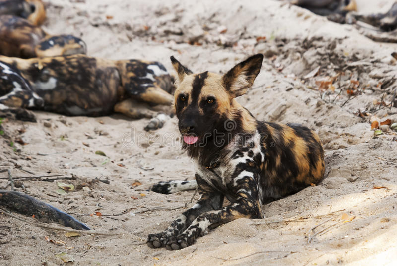 Perros salvajes, pictus del lycaon imagenes de archivo