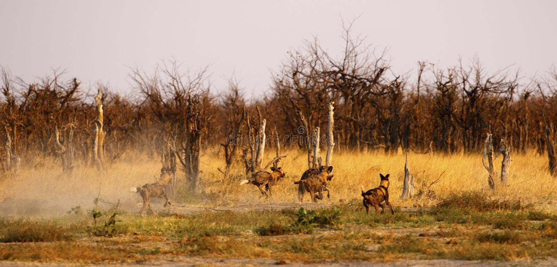 Perros salvajes que luchan y que persiguen de hienas manchadas fotografía de archivo
