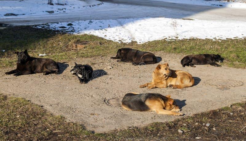 Perros sin hogar en la calefacción de invierno en pozo del sanitaryware parásito imagenes de archivo