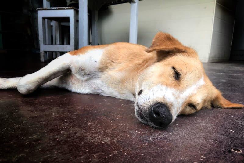 Perros tailandeses, durmiendo en el piso por la mañana del jardín foto de archivo