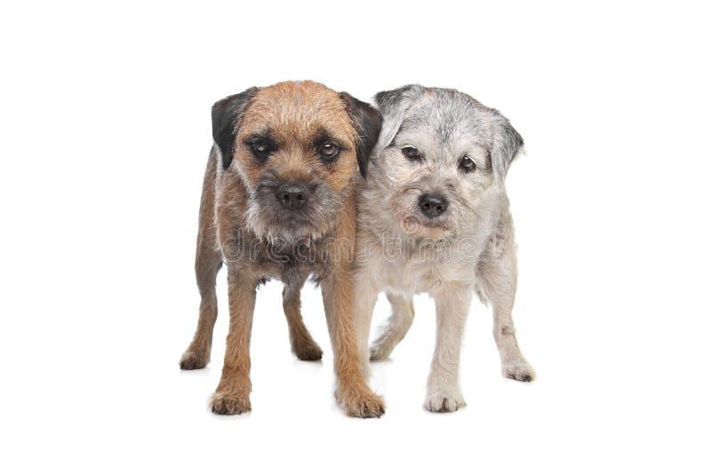Perros viejos y jovenes del terrier de frontera imagen de archivo