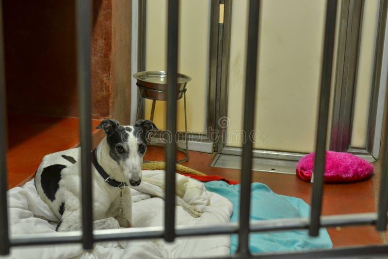 Perros y gatos de Battersea de la adopción del galgo que esperan a casa foto de archivo libre de regalías