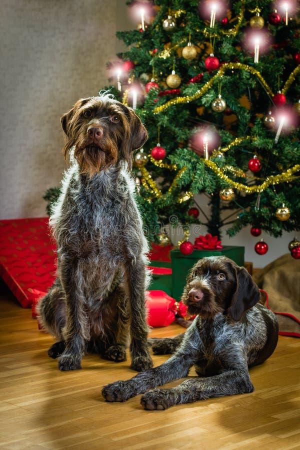 Perros y la Navidad fotos de archivo libres de regalías