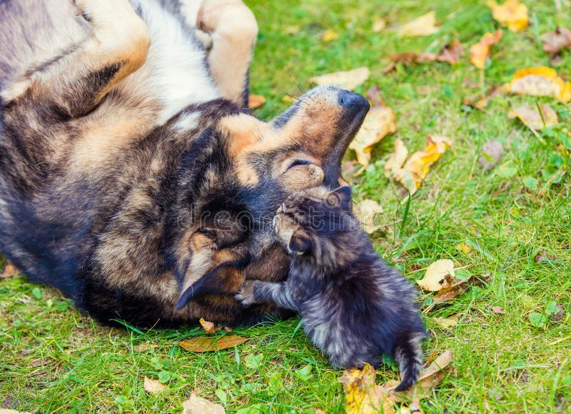 Perros y pequeños gatitos que juegan junto imágenes de archivo libres de regalías