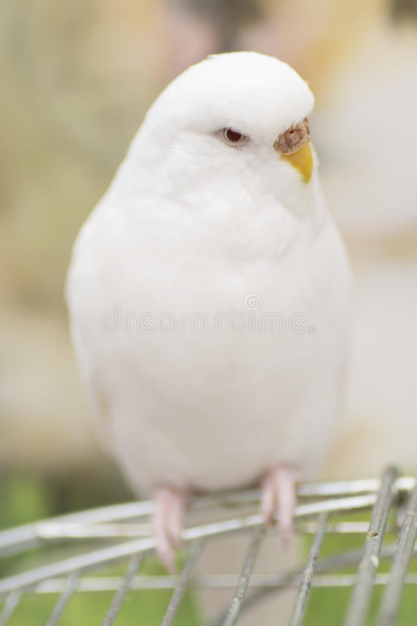 Download Perruche albinos image stock. Image du budgie, animal - 56488313