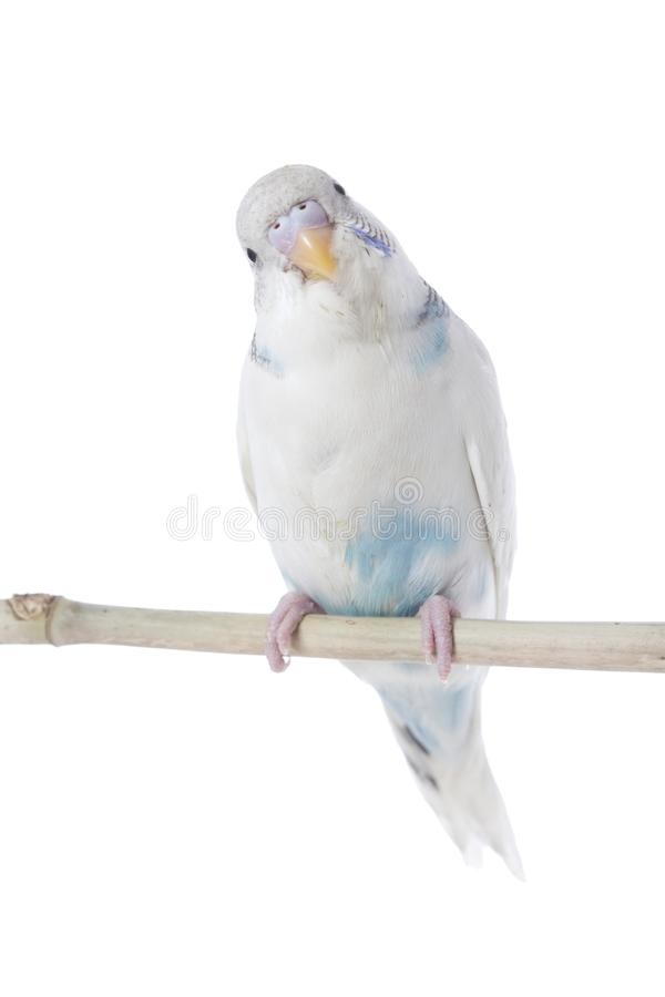 Perruche bleue étée perché photo libre de droits
