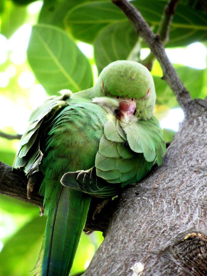 Perruche commune d'Indien, dormant dans l'arbre image libre de droits