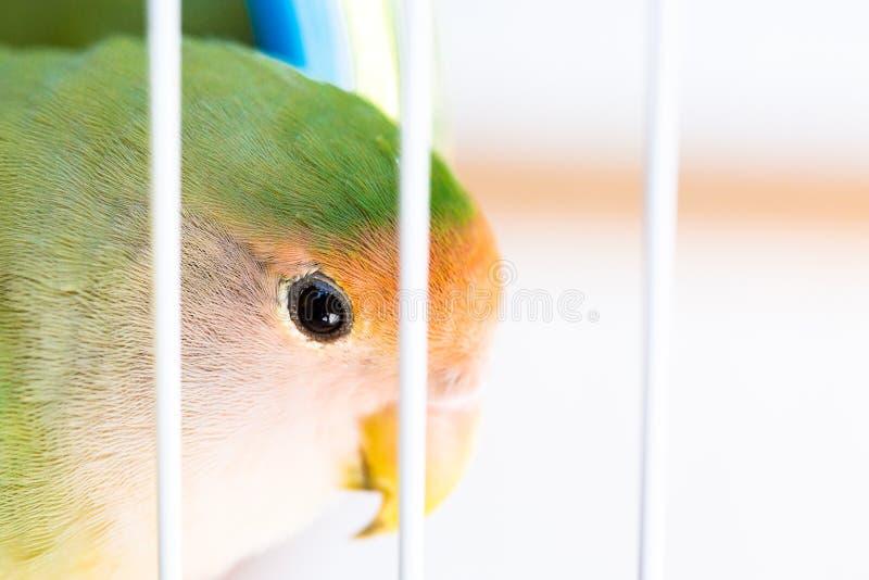 Perruche dans la cage photo libre de droits