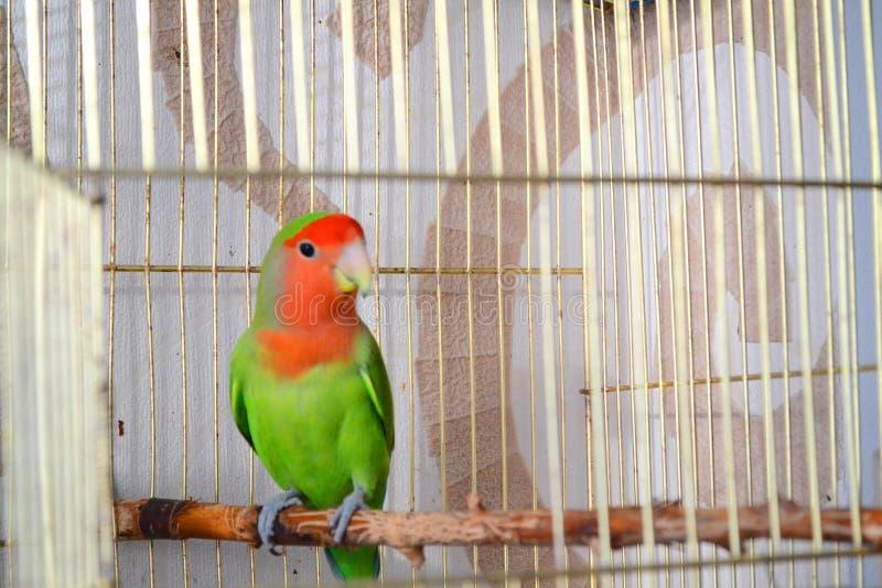 Perruche dans la cage ouverte Amour/concept roman Oiseau tropical de perroquet photographie stock