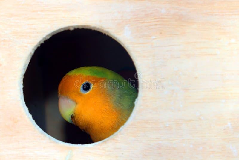 Perruche dans une cage en bois photo libre de droits