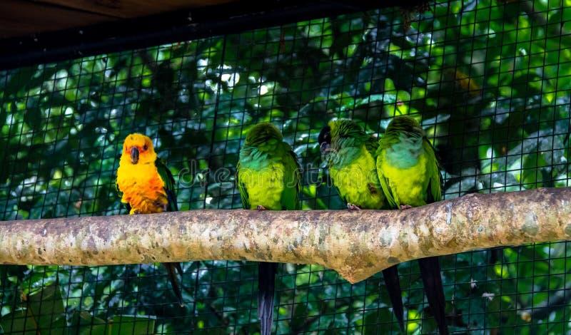 Perruche de Sun se tenant près des perruches de Nanday chez Parque DAS Aves - Foz font Iguacu, Parana, Brésil photos libres de droits