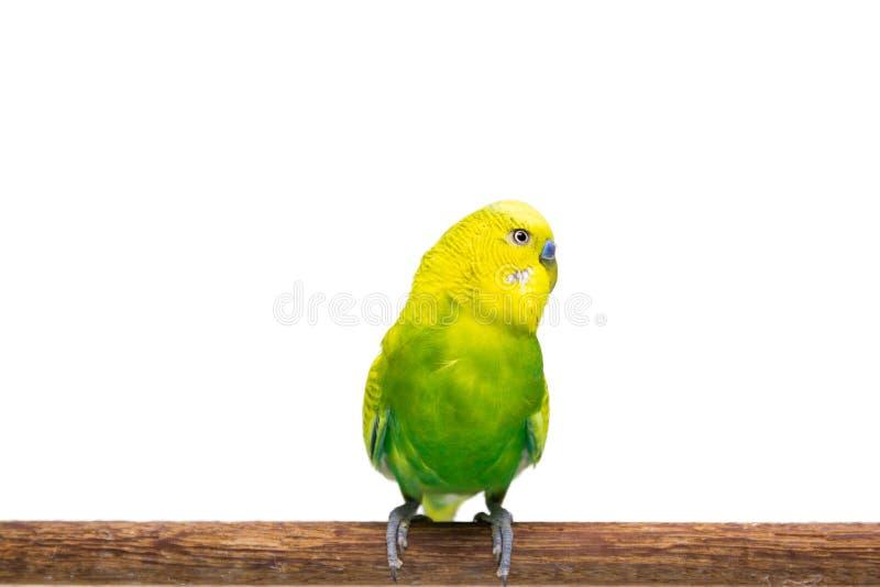 Perruche jaune et verte, oiseau de perruche photos stock