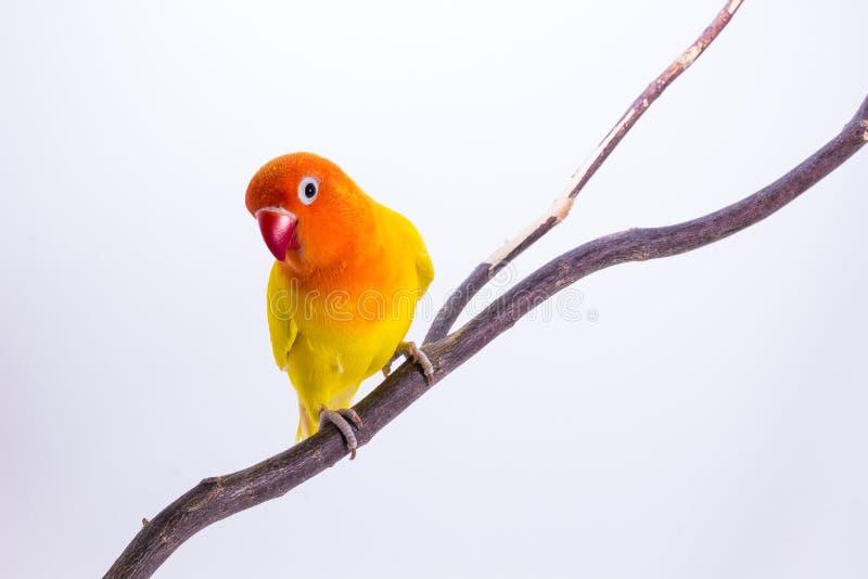 Download Perruche Jaune Sur La Branche Photo stock - Image du branchement, oiseau: 87709380