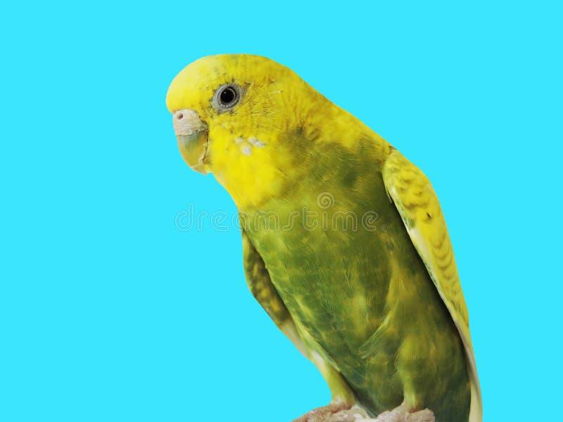 Perruche jaune sur le fond bleu Fin jaune de perruche vers le haut de tir photo libre de droits