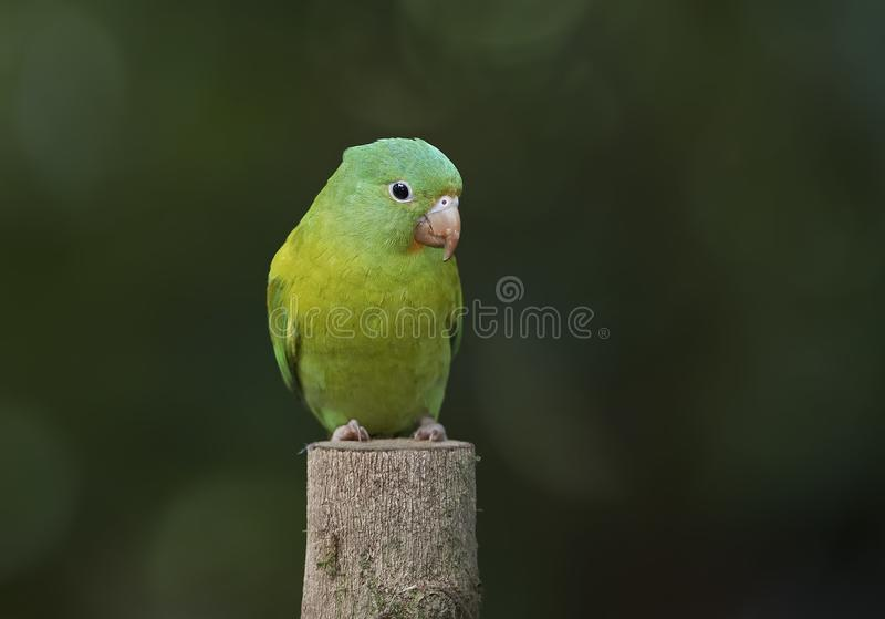 Perruche orange-chinned en Costa Rica photos stock