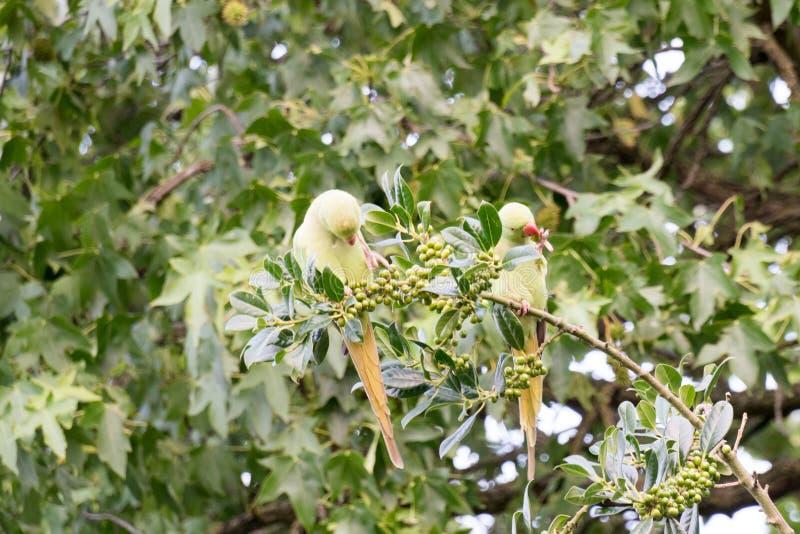 perruches Anneau-étranglées en Hollande mangeant juste des baies photo libre de droits
