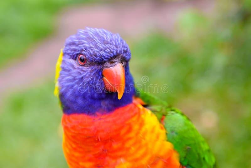 Perruches dans différentes couleurs photo stock