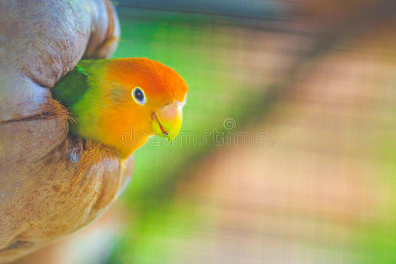 Perruches dans le nid de noix de coco photographie stock libre de droits