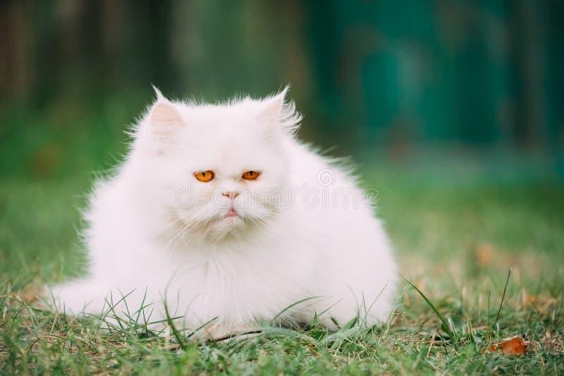 Persa branco engraçado bonito Cat Kitten With Yellow Eyes Resting dentro imagens de stock