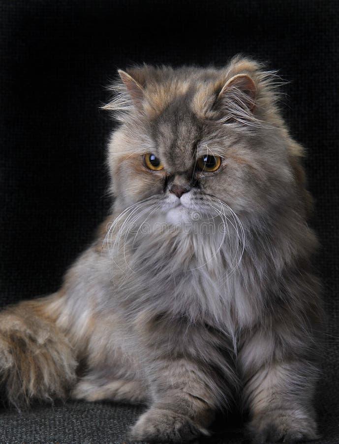 Persan de chat photographie stock libre de droits