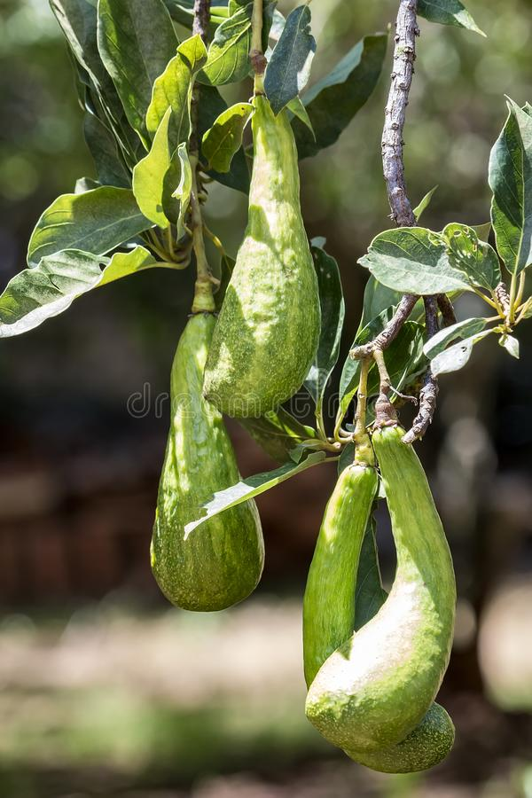 Persea Американа Бразилия авокадоа стоковые изображения