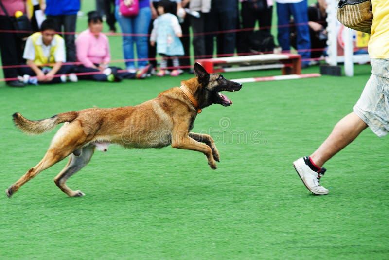 Perseguição do cão imagens de stock