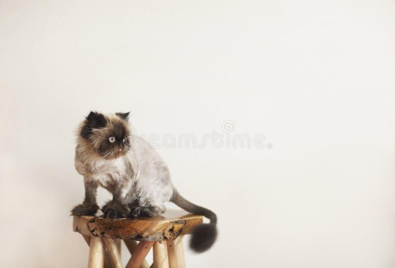 Perser Cat Extreme fotografering för bildbyråer