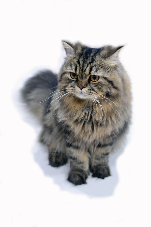 Perserkatt som en Maine Coon Cat 1 arkivfoton