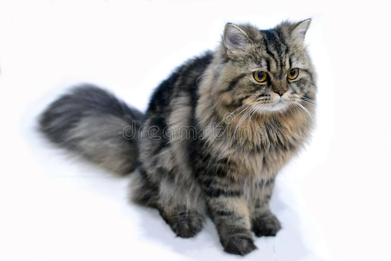 Perserkatt som en Maine Coon Cat 2 arkivfoton