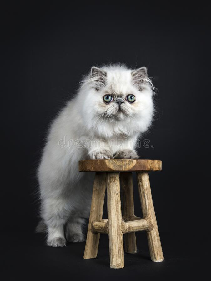 Persia kitten on black background. Persian longhair cat / kitten standing with front paws on wooden stool isolated on black backgroud stock image