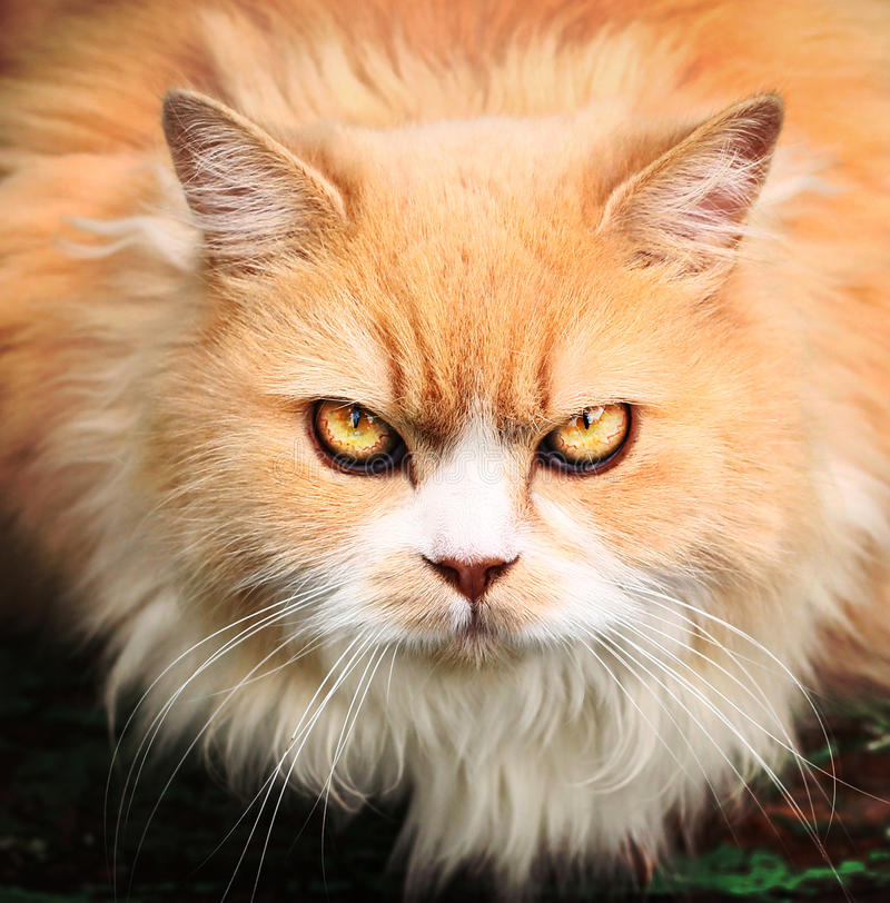 Free Persian Breed Cat With Ferocious Look Close Up Outdoor Portrait Royalty Free Stock Image - 80449516