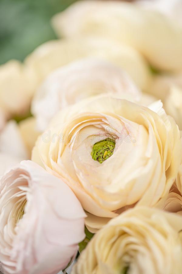 Persian buttercup. Bunch pale pink and pastel yellow ranunculus flowers in Glass vase. Vertical Wallpaper.  royalty free stock image