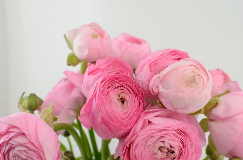 Persian buttercup. Bunch pale pink ranunculus flowers light background stock photos