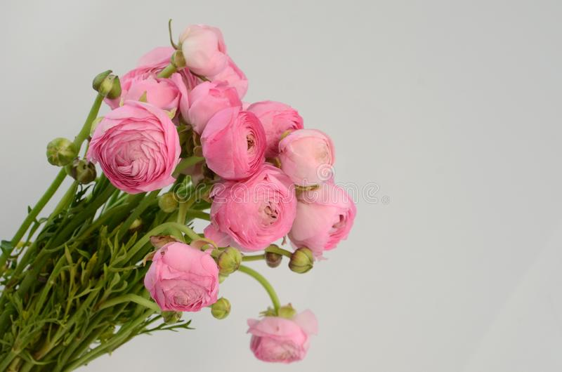 Persian buttercup. Bunch pale pink ranunculus flowers light background royalty free stock images