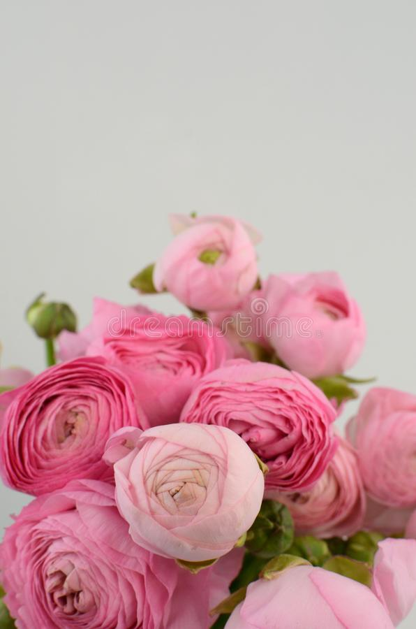 Persian buttercup. Bunch pale pink ranunculus flowers light background stock photography
