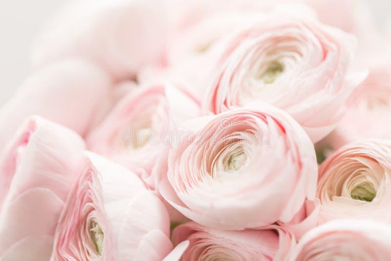 Persian buttercup. Bunch pale pink ranunculus flowers light background. Wallpaper, Horizontal photo. Persian buttercup. Bunch pale pink ranunculus flowers light royalty free stock photos