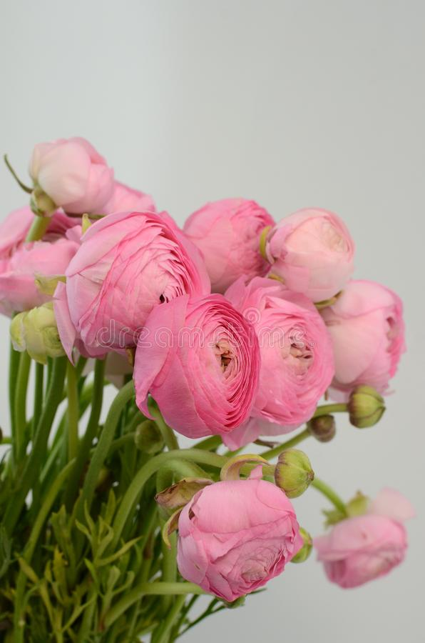 Persian buttercup. Bunch pale pink ranunculus flowers light background royalty free stock photography