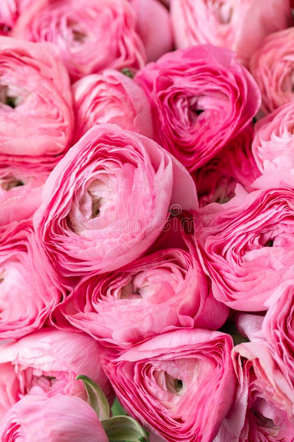 Persian buttercup. Bunch pink ranunculus flowers in Glass vase. Floral Wallpaper. Texture of flower.  stock photography