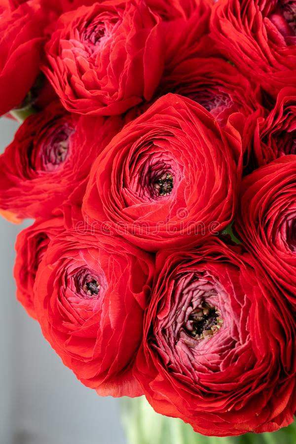 Persian buttercup. Bunch red ranunculus flowers in Glass vase. Floral Wallpaper. Texture of flower.  stock photo