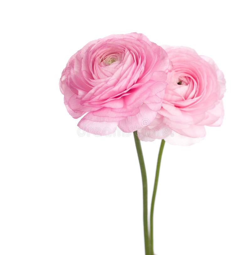 Persian buttercup flowers stock photo