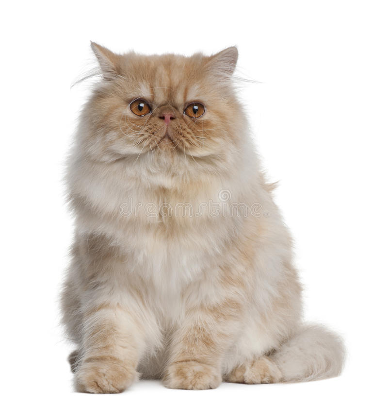 Persian Cat, 1 year old, sitting royalty free stock images