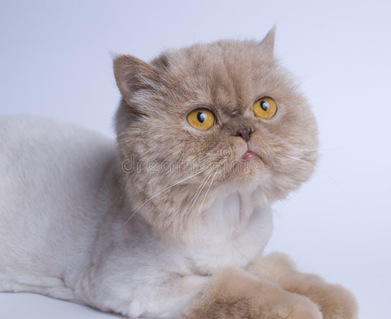 Persian cat. Photo of the Persian cat stock photos