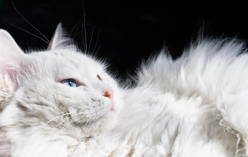 Download Persian Cat stock photo. Image of eyes, stare, down, black - 13974674