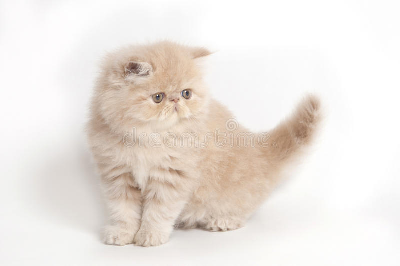 Persian cat. A little and cute persian cat royalty free stock photo