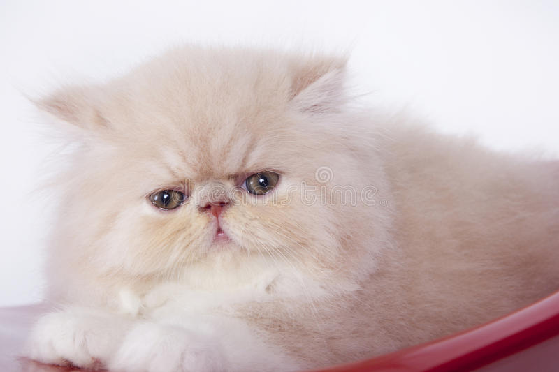 Persian cat. A little and cute persian cat royalty free stock photography