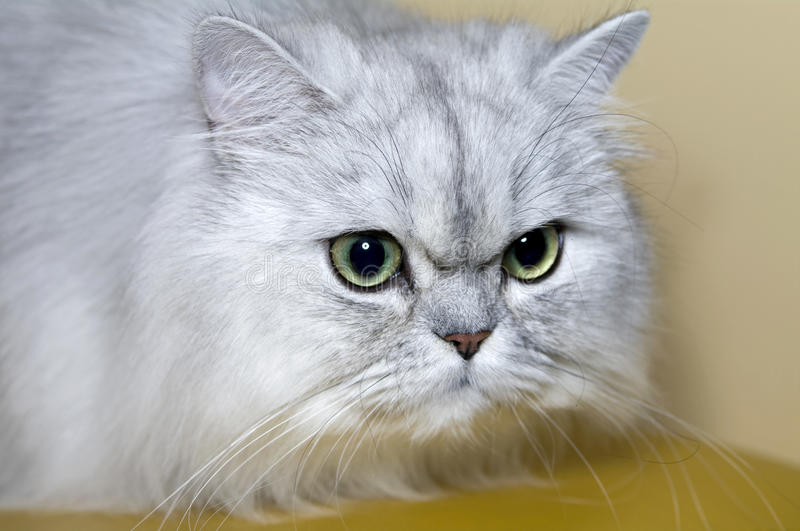 Download Persian Cat Royalty Free Stock Images - Image: 19974019