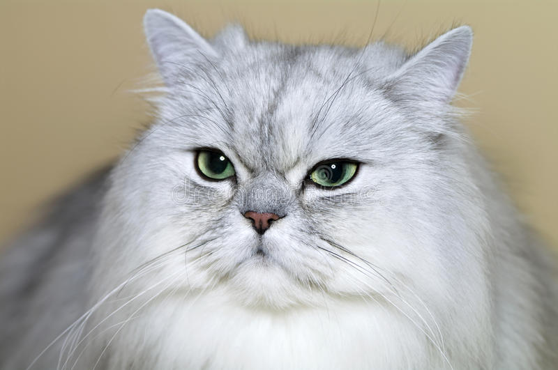 Download Persian cat stock photo. Image of gray, felines, breed - 19974082