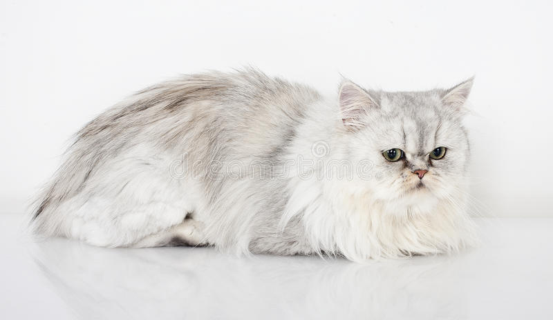 Download Persian cat stock image. Image of breed, domestic, mammals - 23328375